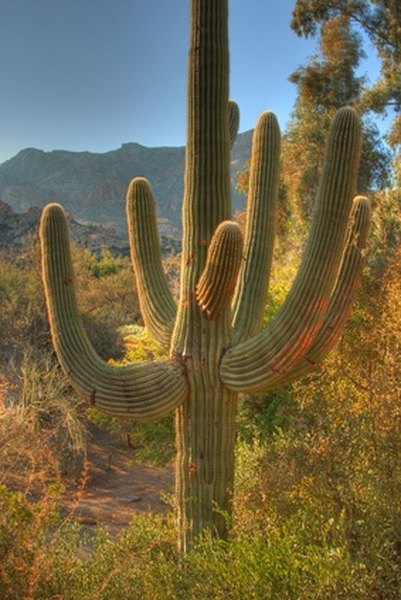 The saguaro cactus is only found in the Sonoran Desert.