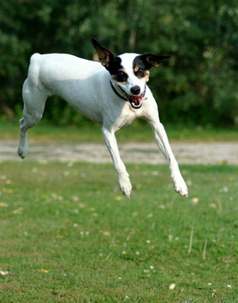 True hyperactivity in dogs is uncommon, but many dogs have exceptionally high energy levels.
