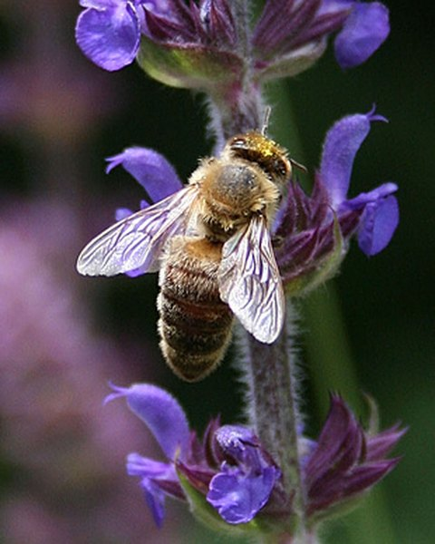 Bees are important pollinators