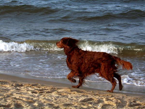 Irish setters are good dogs for energetic people who love the outdoors.