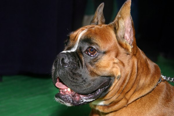 Digestive Disorders In Boxer Dogs Pets