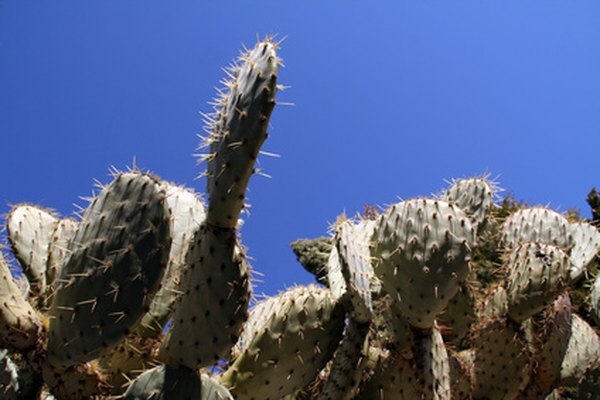 Cactuses thrive in desert biomes.
