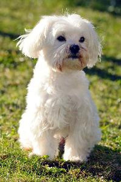 maltese dog. maltese dogs can develop a shaking syndrome between ages 6 months and 2 years. dog
