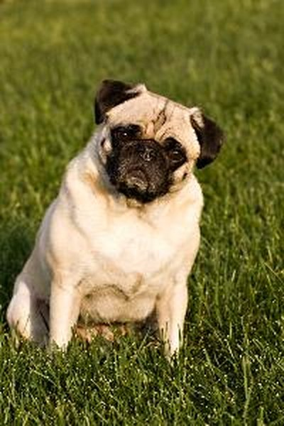 pug mix breeds information on the pug zu mixed breed dog pets 4878