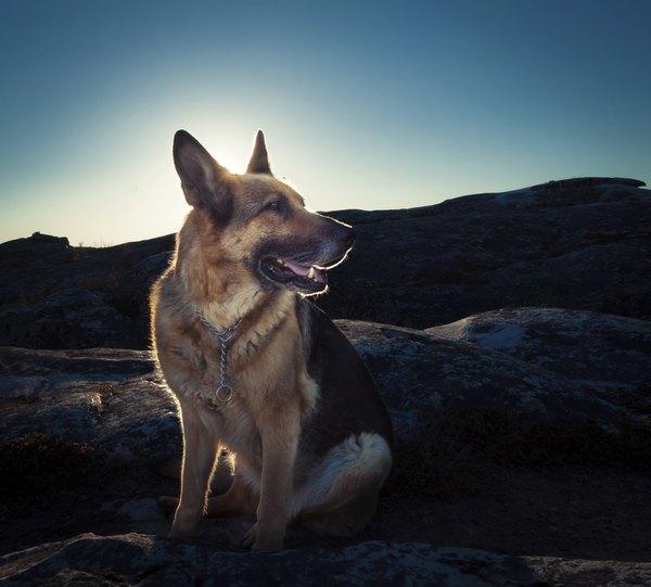El perro que dio origen a esta raza difería en pelaje a los pastores alemán actuales.