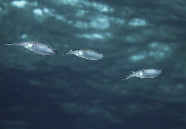 Squid are both predator and prey in the open ocean.