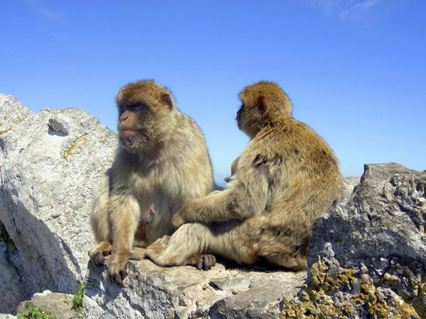 Barbary Macaques sitting on a rock