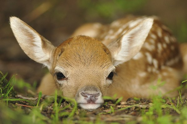 newborn baby fawn