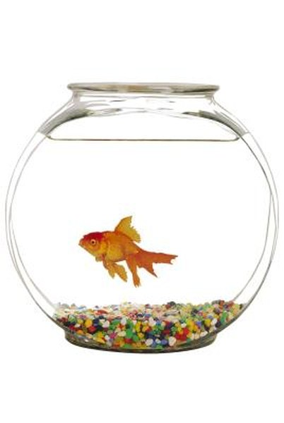 Gender Differences in Comet Goldfish | Animals - mom me