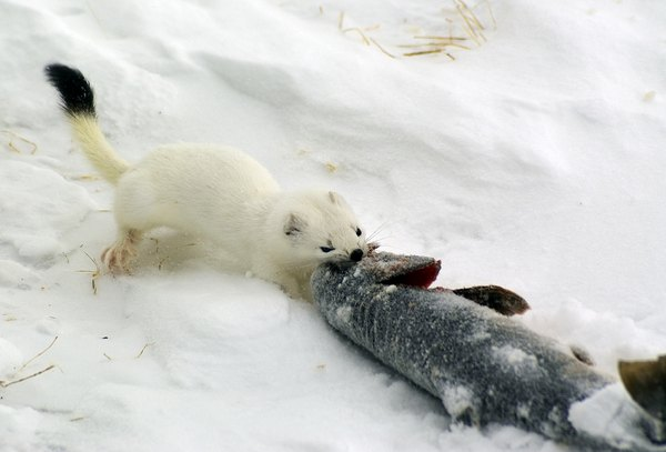 A white ermine pulling a fish across the winter snow.