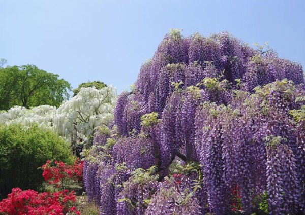 Why Don T You Plant Wisteria Close To Your House Home Guides Sf Gate