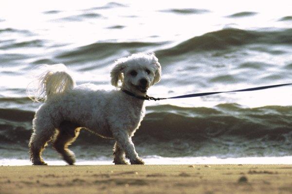 El poodle es una raza acuática.