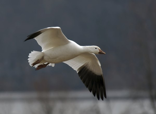 A snow goose glides over a marsh.