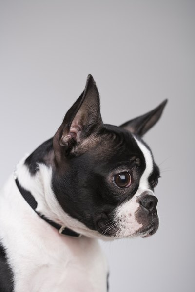 Boston terriers are low-maintenance dogs, requiring only moderate exercise and minimum grooming.