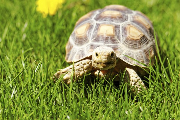 tortoise in grass