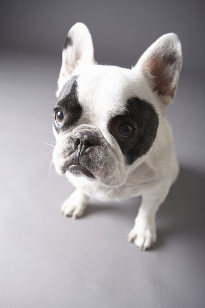 Maintaining a healthy weight is key to a French bulldog's good health.