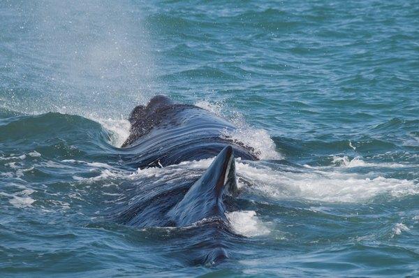 Veja as baleias cachalote de Kaikoura