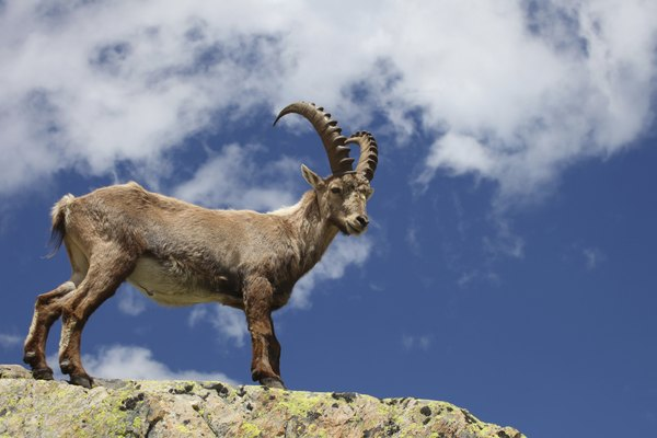 the Alpine Ibex makes it's home in the French Alps