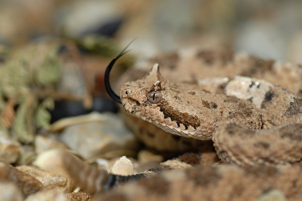 Sidewinders are also known as horned rattlesnakes.