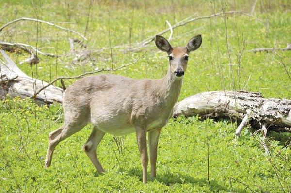 pregnant female deer