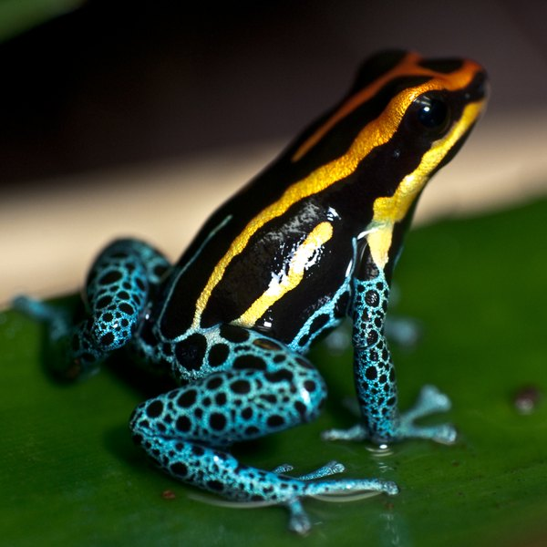 Poison dart frogs are deadly to would-be predators.