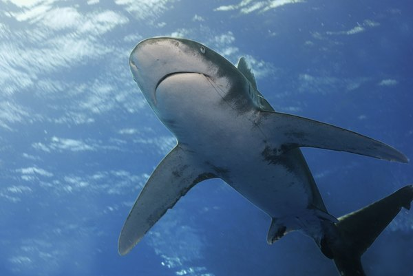 The oceanic whitetip shark is one of the pelagic zone's great apex predators.