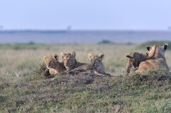 Veja rinocerontes negros em seu ambiente natural no Quênia
