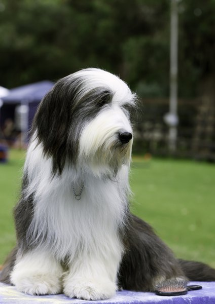 For a larger and more boisterous companion, consider the bearded collie.