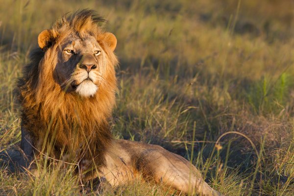 Male lions can feel threatened by younger lions.