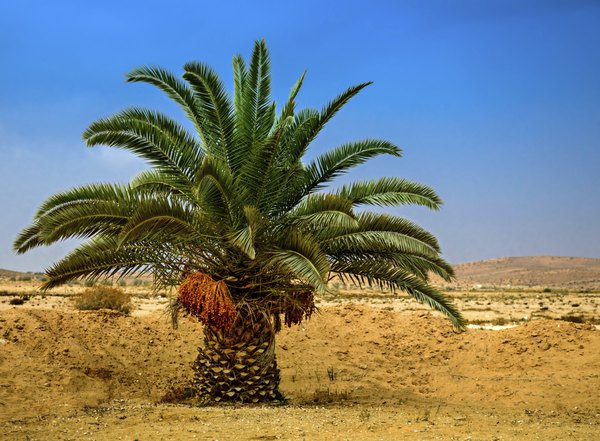 A desert palm tree with dates in Eilat, Israel