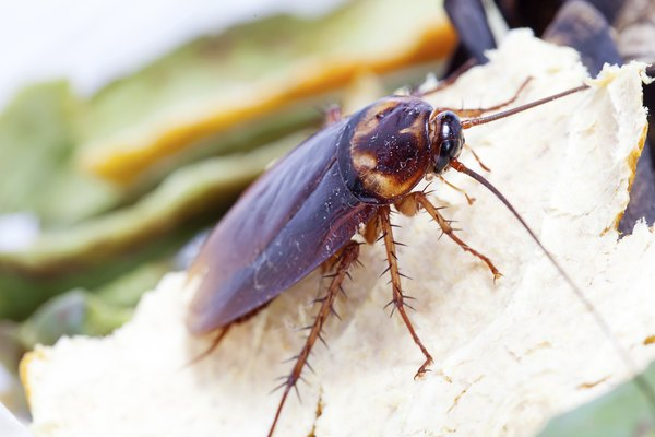 Cockroaches can carry Salmonella and E. Coli bacteria.