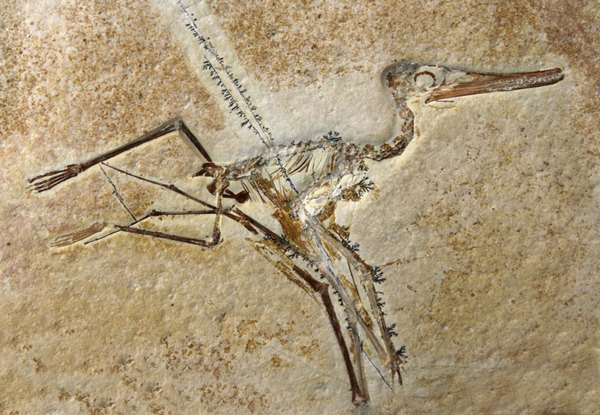 A fossil of a prehistoric bird in sandstone.