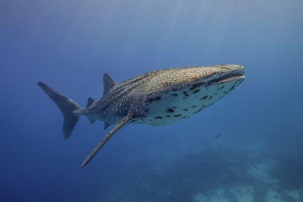 A whale shark swims underwater in a blue ocean.