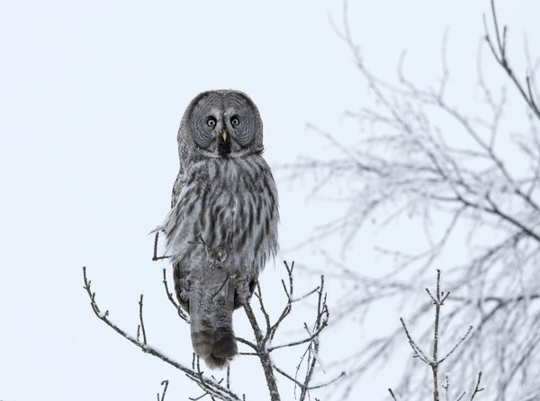 A great grey owl in the top of a barren tree in winter.