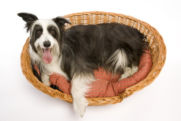 Keep your dog and his bedding free of fleas to minimize his risk of tapeworm infection.