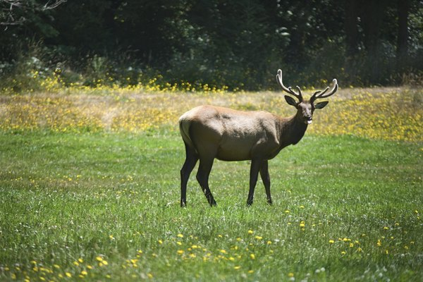 Elk have been reintroduced to parts of the Appalachian region.