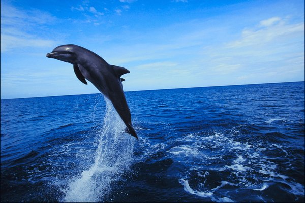 A dolphin's snout is called a rostrum.