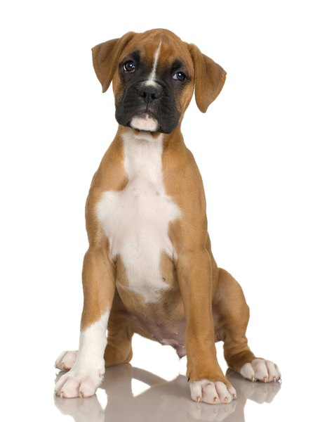 Boxer Dogs For Sale In Pa
