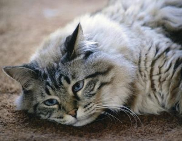 Anemic Cat From Fleas Treatment