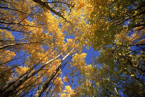 Aspen trees in British Columbia