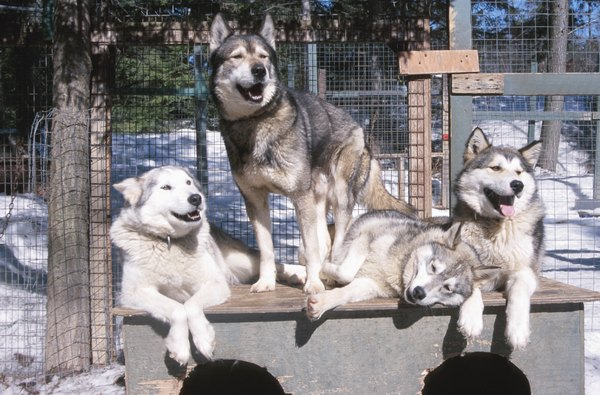 Huskies are genetically closer to wolves than other domestic dog breeds.