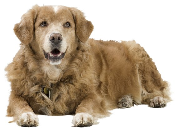 You may notice your retriever developing thickened skin and a dry coat if he has low thyroid function.