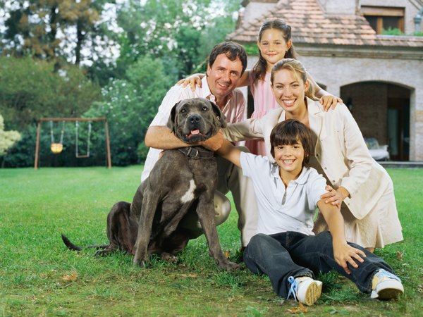 No matter how tall your English mastiff gets, he'll still be part of the family.