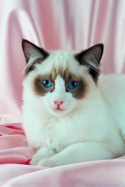 Are Ragdoll Cats Related To Siamese Cats Pets