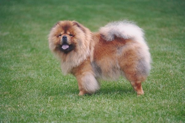 Chows are known for their bushy, thick tails.