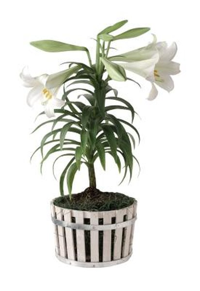 How To Care For Easter Lilies That Are Turning Yellow Dying Home