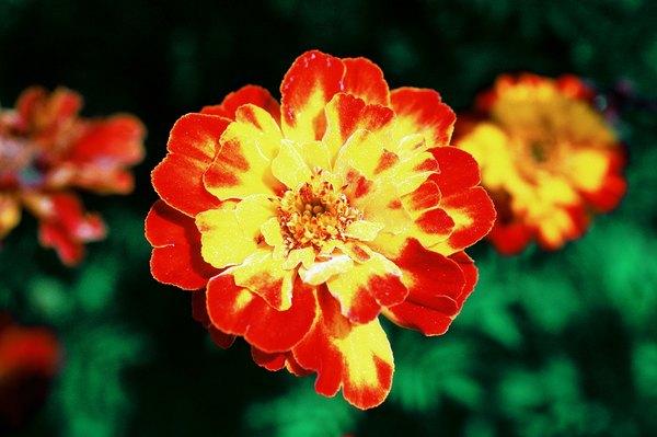 La flor maravilla.