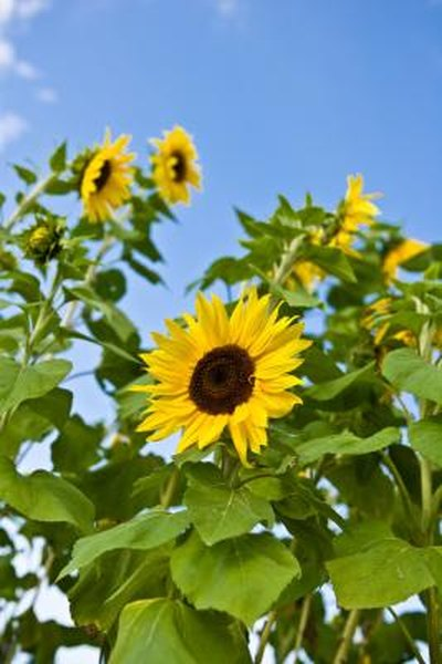 How To Grow Sunflowers Near Lawns Home Guides Sf Gate