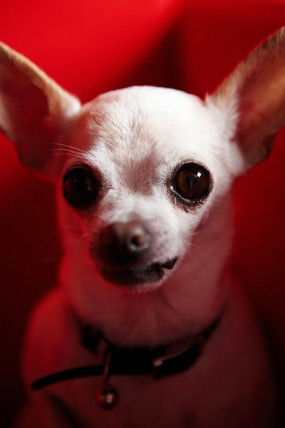 Smooth-coated Chihuahuas tend to have shiny fur.