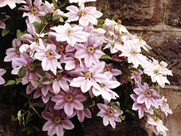 Cold tolerant perennial vines home guides sf gate clematis is a clinging vine that uses twining stems to hold onto support structures mightylinksfo